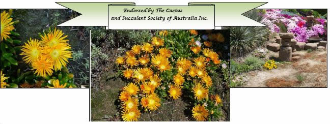 xDisphyllum 'Sunburn' was the first plant ever to be endorsed by the CSSA in early 2012