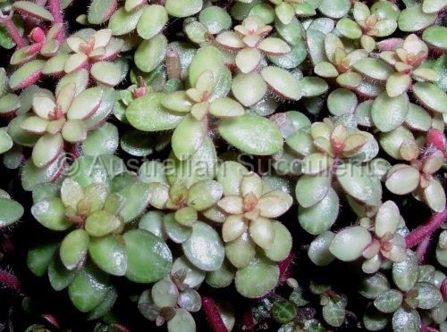 Australian Succulents Myrmecodia Beccarii Gt Portulaca