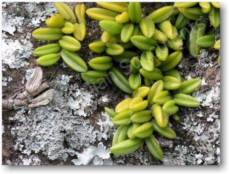 Bulbophyllum shepherdii