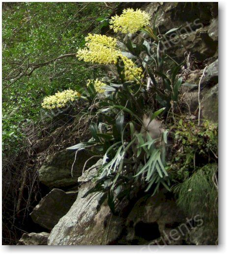 Dendrobium speciosum in typical habitat, growing on exposed rocky surfaces