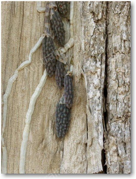 Dockrillia cucumerina – unlike here, in habitat it is usually extremely well-camouflaged against tree bark.