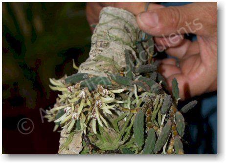 Dockrillia cucumerina – flowering in cultivation.