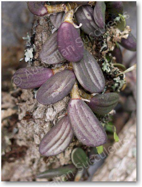 Dockrillia linguiformis – in habitat its colours are far more dramatic
