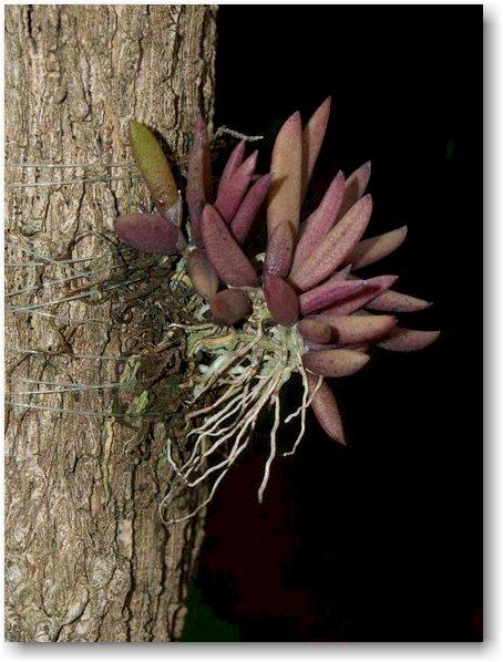 Dockrillia rigida hybrid.