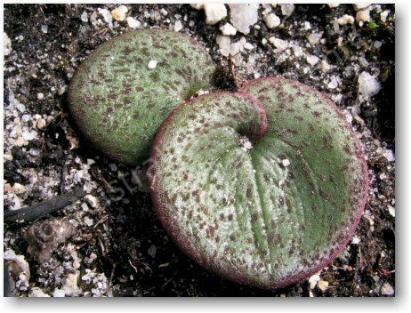 Pyrorchis nigricans – a semi-succulent geophyte with leaves from 40-100 mm in length